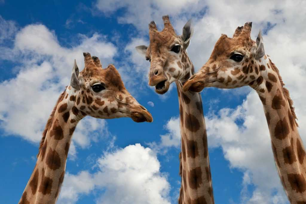 three giraffes looking at each other